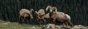 Big Horn Sheep photographyed by member biologist John Doe, seen in the Madison Range in February, 2018