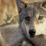wolf -USFWS