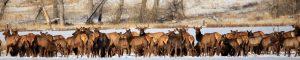 mt-chapter-the-wildlife-society-elk-herd-