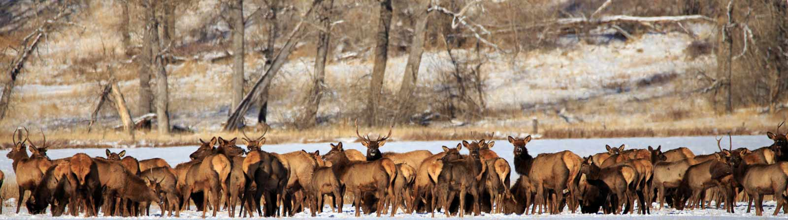 mt-chapter-the-wildlife-society-elk-herd1-
