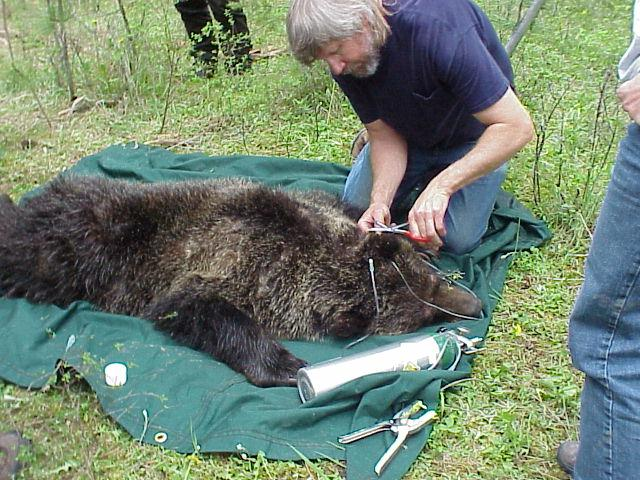 CSKT Wildlife Biologist Art Soukkala Ear-tagging a Grizzly Bear