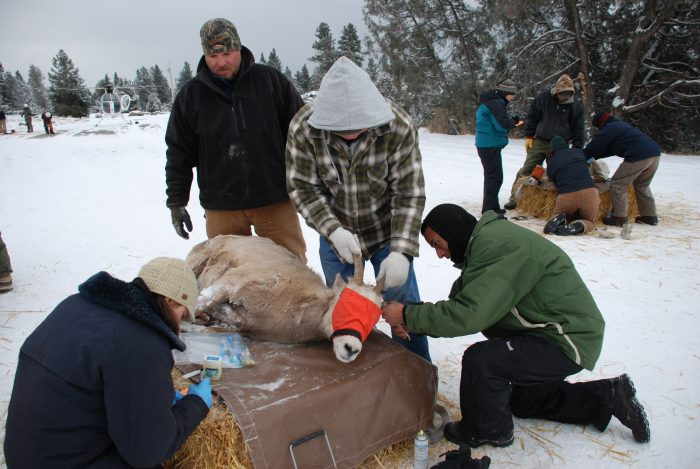 CSKT Wildlife Biologists Stacy Courbville and Shannon Clairmont and MFWP staff taking samples from bighorn sheep