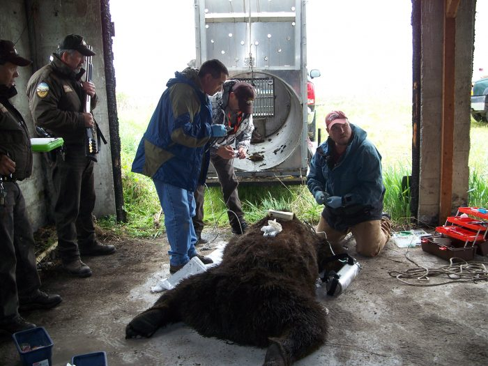 CSKT Wildlife Biologists Stacy Courville and Shannon Clairmont and CSKT Wardens working a grizzly bear
