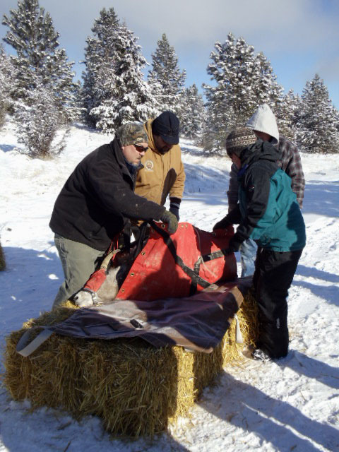 CSKT Wildlife Biologists Staphanie Gillin, Stacy Courville and Dale Becker working fn captured bighorn sheep
