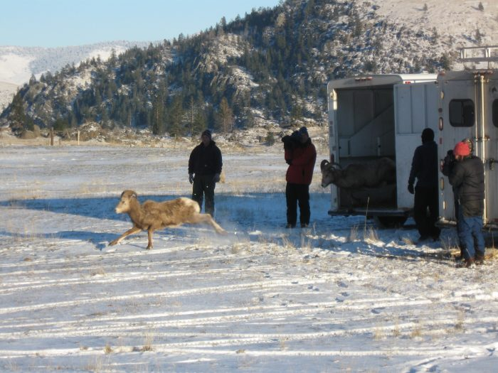 CSKT Wildlife Management Program staff releasing a re-located bighorn sheep