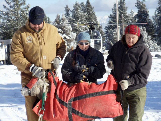 CSKT Wildlife Manager Dale Becker, Wildilfe Biologist Janene Lichetneberg and Zelda Charlo carryig a captured bighorn sheep