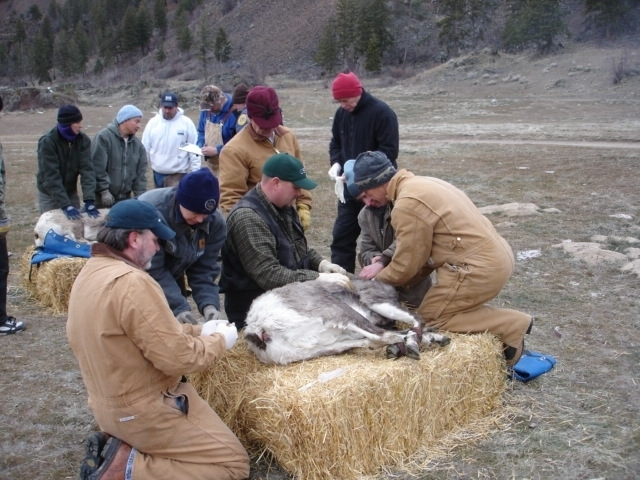 CSKT and MFWP Wildlife biologists checking health of captured bighorn sheep