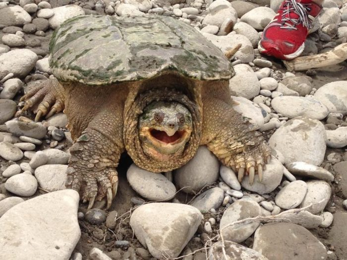 R5 snapping turtle
